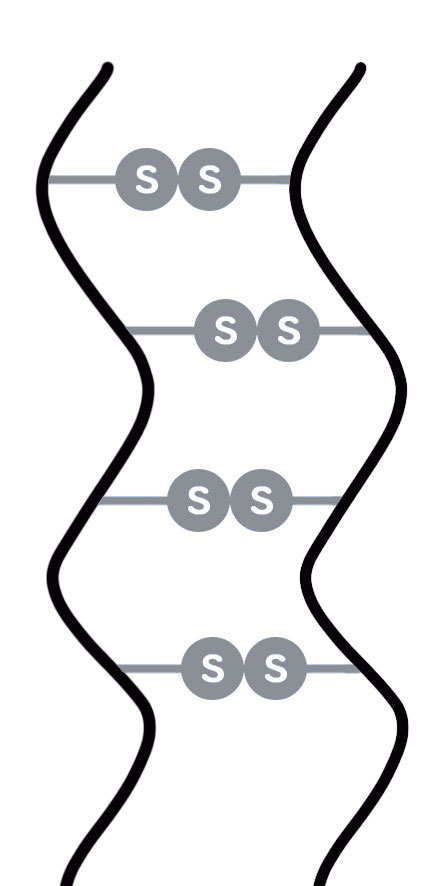 くせ毛の構造の図